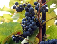 Valiant is a cold hardy grape with excellent juice and makes an interesting wine.
