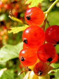 Red currants are an easy-to-grow berry.