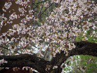 Cherry trees produce very beautiful, showy blossoms.