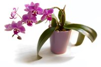 Miracle-Gro helps plants like this orchid grow larger.