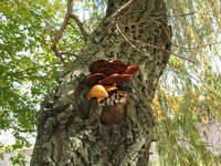 Mushrooms on a living tree indicate damage or disease.
