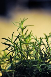 Rosemary oil contains around 90 different chemicals.