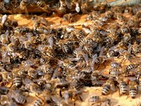 Honey bees nest in the walls of your home.