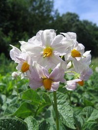 Potato plants require the right combination of care to grow and flower.