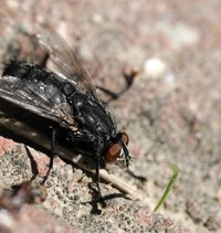 Flies can quickly become a nuisance around a composting location.