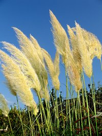Pampas flowers can be preserved