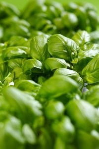 Basil is one of the common culinary herbs of the mint family.