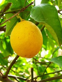 The best time to prune citrus trees is just following the fruit harvest.