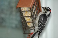 Woodpeckers are one of the few birds that eat snapdragons.