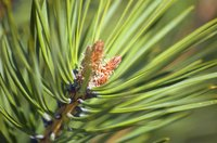 The scrub pine is also known as the Virginia pine.