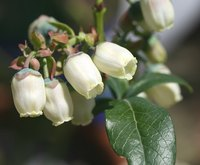Removing blueberry blossoms helps increase root development.