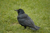 Offer crows an alternative to suet to keep them away.
