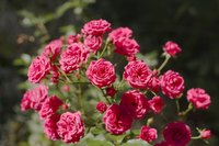 There are a variety of different kinds of rose bushes.