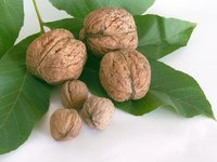 Learn about different kinds of walnuts.