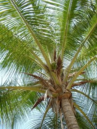 Coconut palm trees can be kept healthy with palm fertilizers.