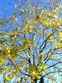 Silver maple leaves turn a light greenish-yellow color in the fall.