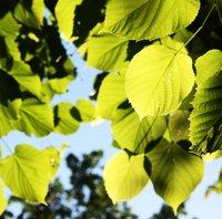 Basswood, or linden trees, are popular shade trees.