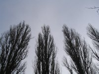 The poplar tree has many different varieties.
