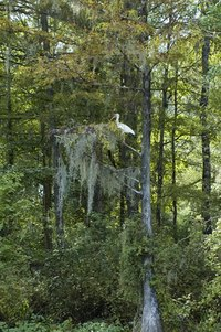 Spanish moss is commonly seen in swampland trees such as the Bald Cypress