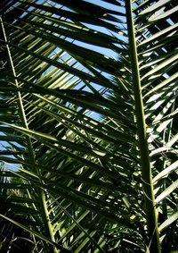 Pindo palms have long, feathered leaves.