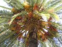 Yellowing of palm leaves may be a sign of disease.