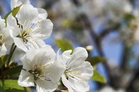 Overwatering of flowering cherries can cause leaves to fall.