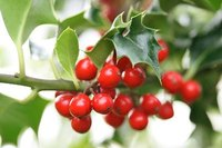 Holly appropriate for zone 7 produces berries on the female trees.