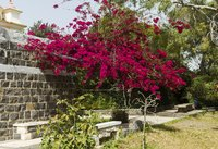 Maintaining bougainvillea in tree form requires that you give the plant adequate support.