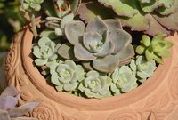 Don't fertilize succulents unless you want them to outgrow their pot.