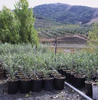 Olive topiaries start with young trees still in their nursery pots.