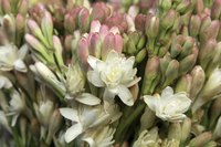 "The double-flowered tuberose variety ""The Pearl"" has a more intense fragrance."
