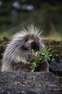 Porcupines eat plants, and it is less appealing when they are yours.