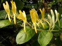 Blossoming honeysuckle vine