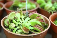 A close-up of potted Venus Fly Trap plants.