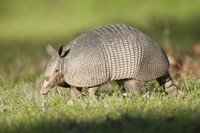 An armadillo in a field.