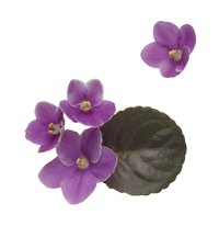 African violets can be propagated by seeds, leaves and stems.