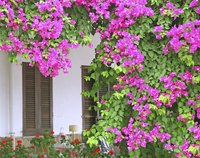 Bougainvillea spread rapidly.