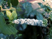 Mealybugs are often found on the leaves of citrus.