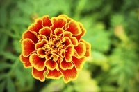 Marigolds fill annual borders with vivid colors.