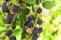 Ripe blackberries growing on a branch.