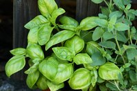 Garden basil needs 1 1/2 inches of water each week to thrive.