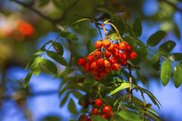Close-up of berries on Mountain Ash Tree