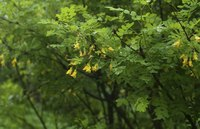 A caragana tree grows in a forest.
