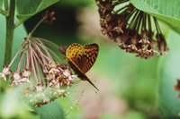 Butterflies sip nectar from milkweed and their larval caterpillars munch on leaves.