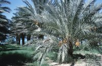 Pygmy palms may die from disease.