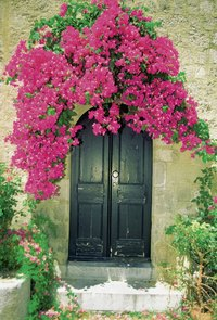 Bougainvilleas are part of the Nyctaginaceae, or Four O'Clock, family.