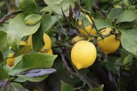 Lemons growing on a branch.