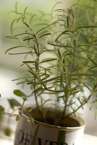 Rosemary grows well in alkaline soil and ample sunlight.