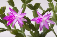 A healthy Christmas cactus without pests blooms easily.