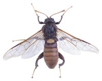 Wasps will sting repeatedly when threatened, causing painful injuries.